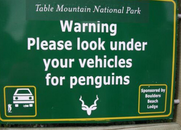 Penguins on Table Mountain? It helps if you know that Boulders Beach penguin colony is part of Table Mountain National Park.
